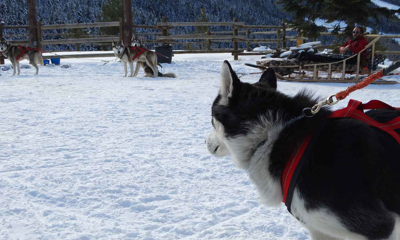 Hermitage Mountain Residences mushing o trineus arrossegats per gossos